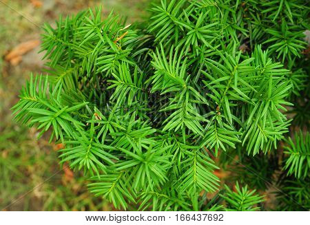 Yew tree. Taxus baccata. It is the tree originally known as yew though with other related trees becoming known it may now be known as English yew or European yew.