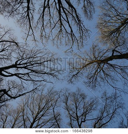 Looking up at tops of trees in winter with blue sky in background