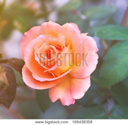 Apricot pink Rose symbol of love and caring on a soft background
