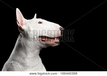 Close-up portrait of Happy White Bull Terrier Dog Smiling on isolated black background, profile view