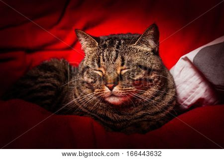 Tabby cat sleeping on red. A sweet tabby cat sleeping on a red cloth. Brindle coat