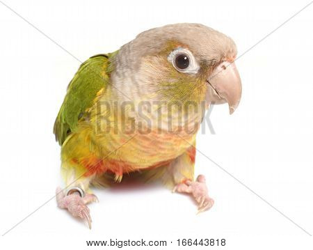 conure cinnamon in front of white background