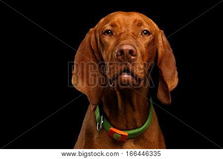 Close-up Portrait of Hungarian Vizsla Dog with collar looking in camera on isolated black background, front view
