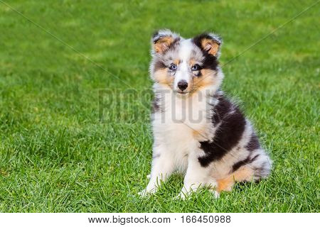 Portrait of one young sheltie puppy sitting on green grass