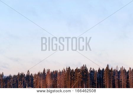 View panoramic of the sky and the tops of the pine trees in the wild Northern nature. Forest winter impassable.