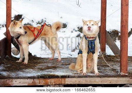 Sled Husky restore power. Working sled dogs of the North. Husky sledding in the winter. North active dog in the harnesses to drive in the snow.