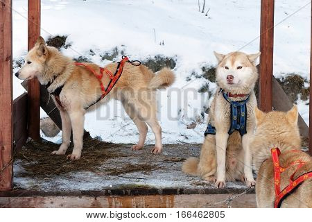Sled Husky at rest. Working sled dogs of the North. Husky sledding in the winter. North active dog in the harnesses to drive in the snow.