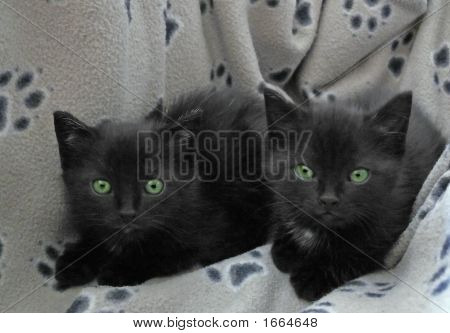 2 black kittens looking in the camera . poster