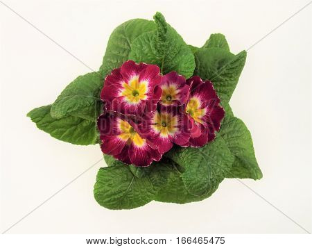 Blooming spring Primrose in yellow pot with white background.