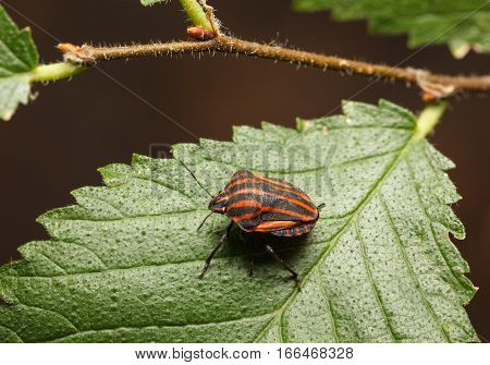 Red Striped Bag On Leaf