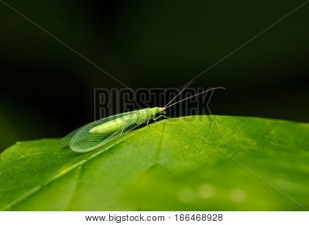Lacewing On Leaf