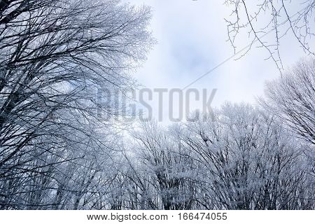 white tops of trees and sky in the cold winter