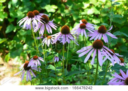 Echinacea purpurea and purple cone flowers flower bed with copy space. Echinacea Benefits and Uses. Coneflowers Flowerbed in the Garden.