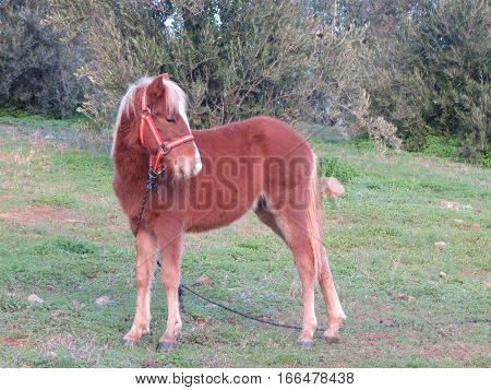 Young Foal In Field With Spanish Flag Briddle