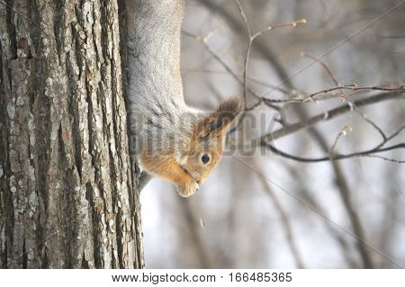 Forest squirrel smartly navigate the tree and up and down. However, it can be fed and being upside down.