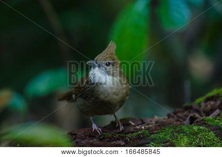 Ochraceous Bulbul Bird (alophoixus Ochraceus)