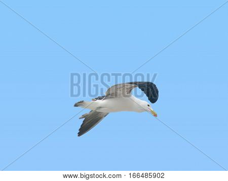 A SEAGULL FLYING AROUND, LOOKING FOR FOOD 12jkla