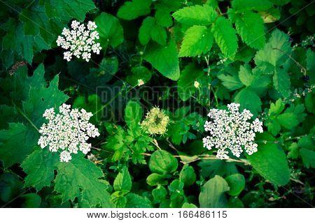 Cow Parsley Anthriscus Sylvestris - White Summer Field Flower