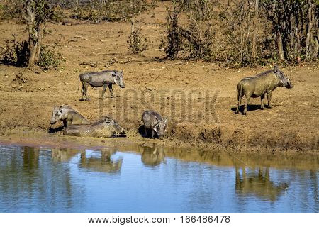 Common warthog in Kruger national park, South Africa ; Specie Phacochoerus africanus family of suede