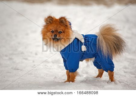 The puppy in the blue sweater, dress is staying and looking at you in winter with white scarf