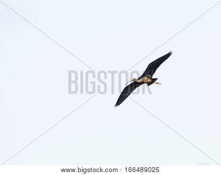 Glossy Ibis (legadis falcinellus) banking in flight