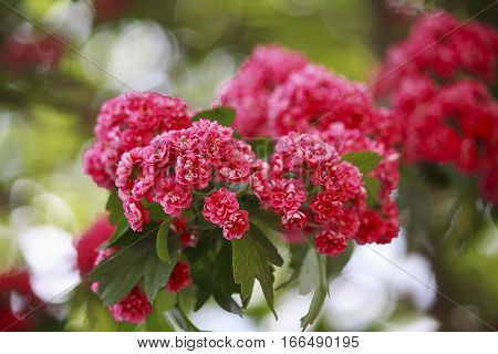 Red flowers of hawthorn flowering period. nature