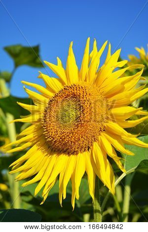 Beautiful sunflower blossom. Sunflowers field sunflower photo sunflower wallpaper.