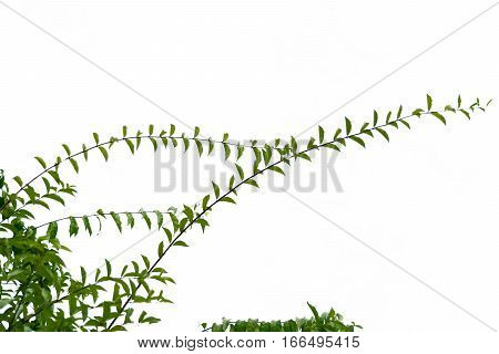Tree branches, leaves, On a white background