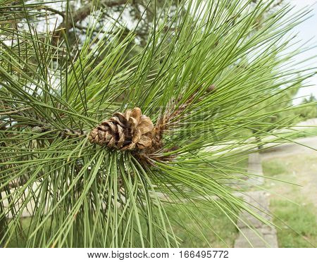 Little bump pine growing on a branch with large needles