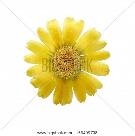 Pressed and dried delicate flower of calendula officinalis (marigold). Isolated on white background. For use in scrapbooking floristry (oshibana) or herbarium.
