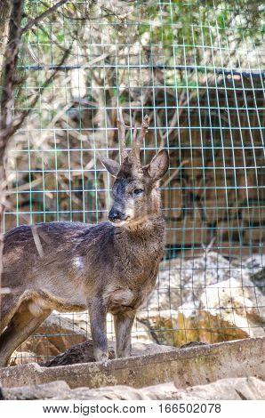 A beutiful Deer on the farm yard