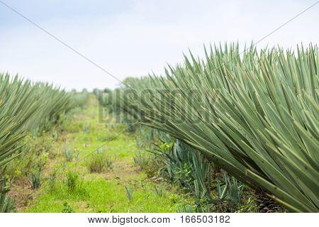 Big sisal plantation in eastern part of Kenya Africa