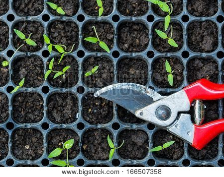 Green plants growing in compacted and scissors to cut the plants