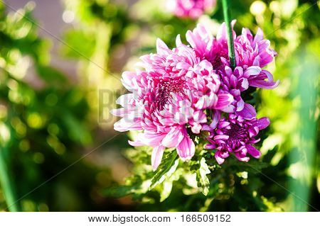 Blooming pink spray chrysanthemum closeup. ardening and floriculture concept