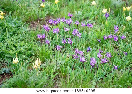 Spring wildflowers wallpaper with blossoming violet and magenta iris