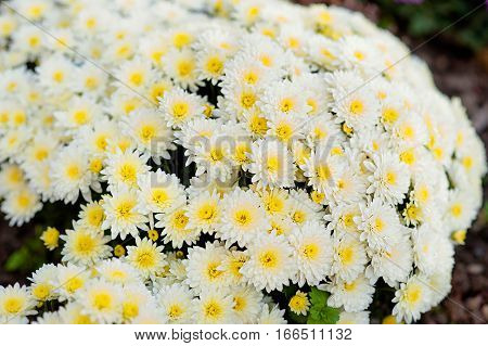 Small white chrysanthemum and the grasshopper. ardening and floriculture concept.