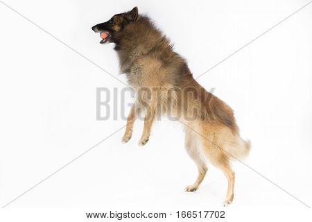 Dog Belgian Shepherd Tervuren catching ball on white studio background