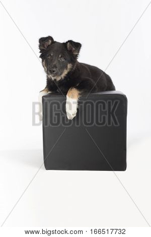 Puppy dog Border Collie hanging on a pouf on white studio background