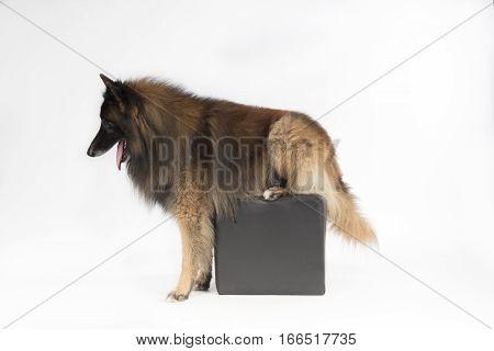 Dog Belgian Shepherd Tervuren sitting on pouf forelegs on the ground white studio background