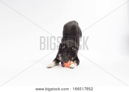 Puppy dog Border Collie playing with ball on white studio background
