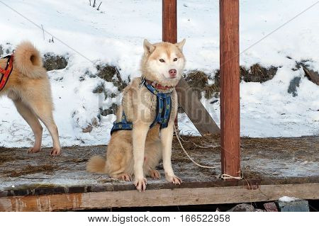 Sled Husky waiting. Working sled dogs of the North. Husky sledding in the winter. North active dog in the harnesses to drive in the snow.