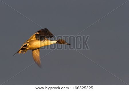 Pintail (Anas acuta) in flight in lovely evening light