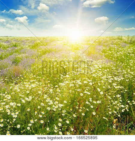 Field with daisies and sun on blue sky focus on foreground