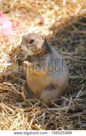 A Black-tailed prairie dog in the zoo