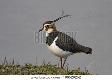 Lapwing (Vanellus vanellus) stands on grassy tuft