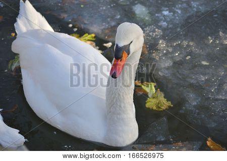 White mute swan (Cygnus olor) swimming in the lake in winter.