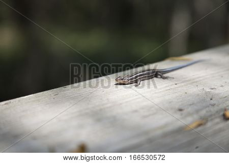 A five-stripped skink scurrying along a plank