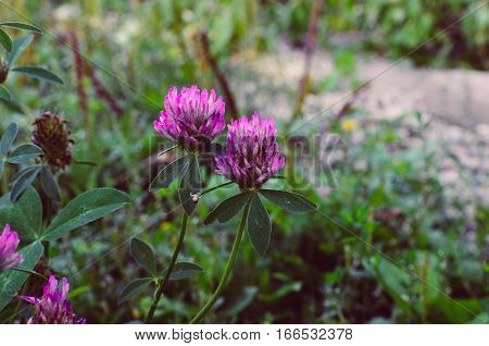 Flowering Clover Trifolium Pratense . Close-up Shot.