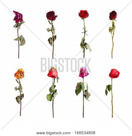 Dried roses of different colors on a white background