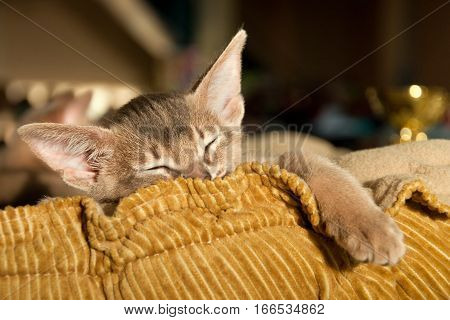 Abyssinian Kitten Sleeping